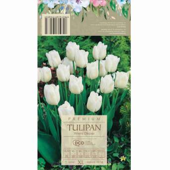 Tulipan White Dream 12-14 7szt DCO