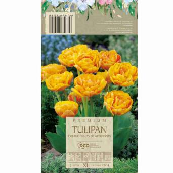 Tulipan Double Beauty Of Apeldoorn 12-14 7szt DCO